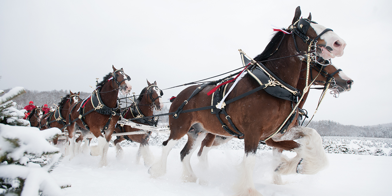 How The Budweiser Clydesdales Became A Force In Holiday Marketing