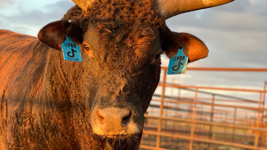 the @PBR on TikTok bull