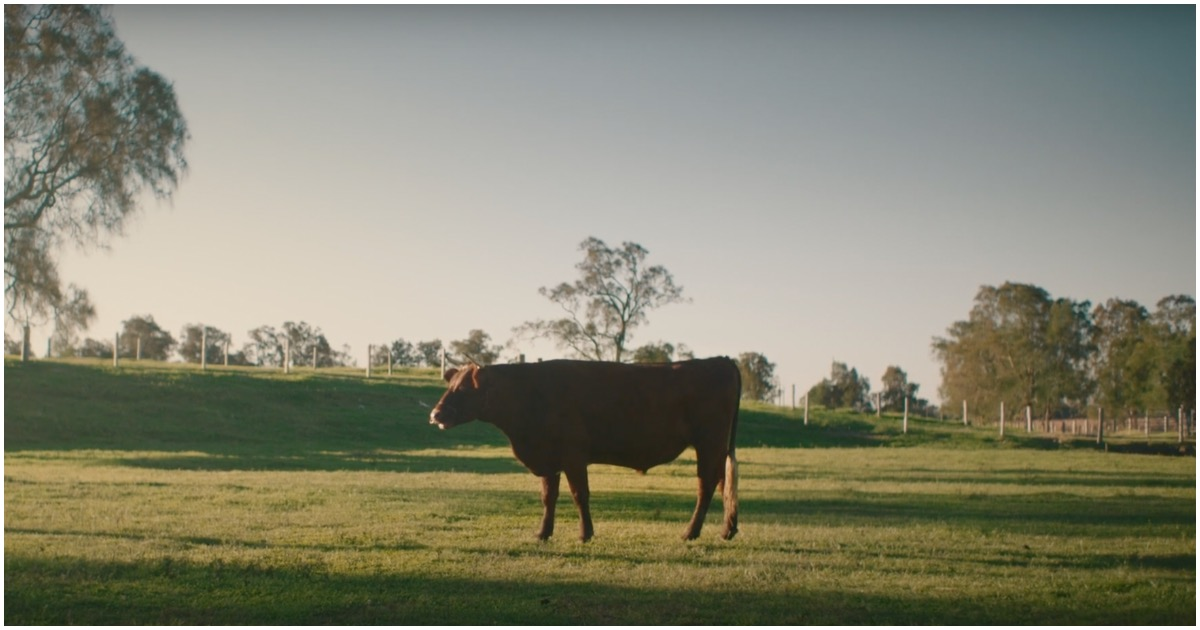 A bull stands in a meadow lined with trees.