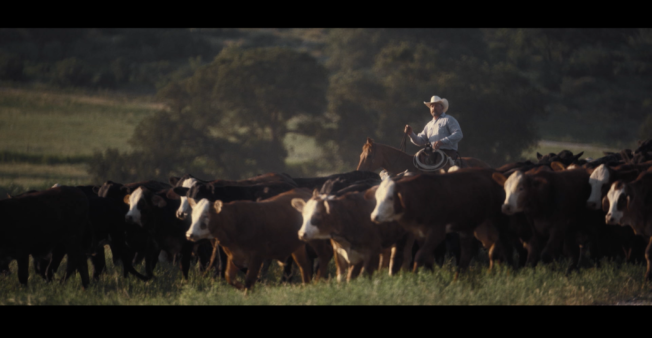 A cattle rancher guides a herd of cows